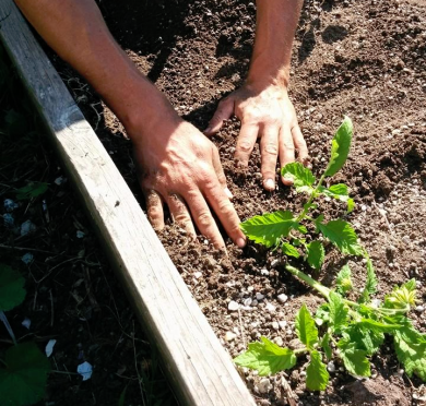 Planting tomatoes horizontally during a skillshare at an occupied farm in West Oakland, 2015. (photo by Samara Hayley Steele)